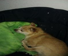 Schnitzel is an adoptable Chihuahua Dog in Wausau, WI. All the pictures we have of Schnitzel are of him sleeping! He loves his naps! Schnitzel is a 12 year old BLIND Chihuahua that we took in from a W...