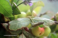 Miniature apples and lavender by GeaAusten.deviantart.com on @DeviantArt