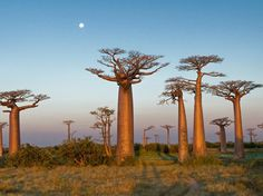 Baobabs.