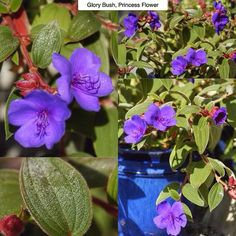 Glory Bush Princess Flower Tibouchina urvillieana Type: Perennial (here) Exposure: Full Sun Water: Regular to Moist  Heres one of those tricky ones that is treated as a different type of plant depending on your zone. In its native Brazil its a broadleaf evergreen shrub or small tree growing to 18ft (5.4m) tall. Here in zone [USDA] 8 it tends to die to the ground in the winter and grow from its roots again in the spring like a perennial. In colder climates its more an indoor / outdoor thing…