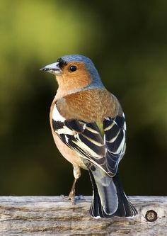 Chaffinch (Fringilla coelebs madeirensis, Passeriformes)