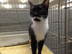 URGENT!!~~~~Meet a14-177 Spayed Tux girl w/ Moustache! a Petfinder adoptable Domestic Short Hair-black and white Cat | Griffin, GA | Spalding County Animal Shelter, 208 Justice Boulevard, Griffin, GA 30224 (770) 467-4772 FAX: (770)...