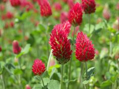 Crimson Clover | Crimson clover and other legumes add nitrogen to the soil.