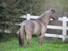 Cavalo de Raça Sorraia - Ribatejo - Portugal