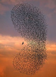 "Thousands of starlings surround a lone bird of prey which had swooped down to pick off a straggler. ""Starlings have a very particular way of defending themselves from their predators like falcons and harriers. They form a large tightly packed flock and mob their enemy, scaring it off, frequently expanding and contracting and changing shape."""