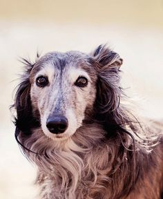 lots-of-dogs:  Apple the Silken Windhound