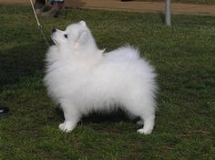 Breeder of Japanese Spitz, based in Goulburn, NSW, Australia Miniature American Eskimo, American Eskimo Puppy, Beautiful Dogs, Animals Beautiful, Cute Animals, I Love Dogs, Cute Dogs, Doggies, Dogs And Puppies