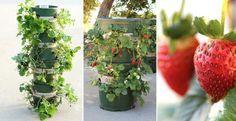C'est vraiment joli! Une tour pour les plants de fraises! Et les fraises…