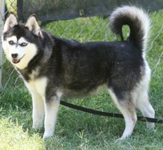 The Alaskan Klee Kai is an energetic, intelligent, apartment-sized dog with an appearance that reflects its northern heritage. Dog Photos, Dog Pictures, Dog Lover Gifts, Dog Lovers, Alaska Dog, Alaskan Klee Kai, Beautiful Dogs, Pet Care, Dogs And Puppies