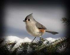 Titmouse - Attract these beautiful birds to your backyard! Shop by bird at birdfeedersetc.com to find the perfect Titmouse bird feeder!
