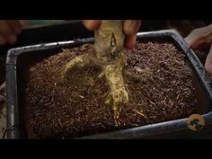 How to Bonsai: Repotting Bonsai Trees - YouTube