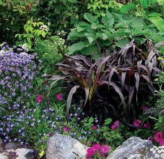 Pennisetum glaucum 'Purple Majesty' - Buy Online at Annie's Annuals