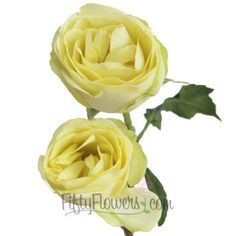 FiftyFlowers.com - Kiss of Mint Cream Mini Garden Rose