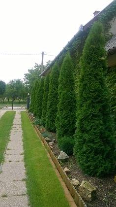 Az örökzöld smaragd tuják szépségét őrizd meg egyszerűen a tápanyagozással ! Sidewalk, Country Roads, Gardens, Privacy Screens, Tips, Walkway, Garden, Garden Types, Walkways
