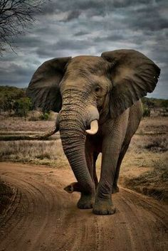 ~ elephant tribe group ~ classic elephant (full) ~ classic setting ~ professional photography) (her elephant photo is artistically drawn on) Elephant Pictures, Elephants Photos, Save The Elephants, Animal Pictures, Baby Elephants, Baby Hippo, Baby Cows, Animals And Pets, Baby Animals