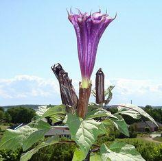 clipartflowersangeltrumpets