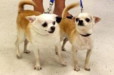 Brinkly is a Chihuahua up for adoption with The Junior Humane Society in Cantonment, FL.