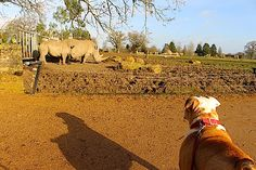 Nelson observing the rhinos and looking like the Lion King at Cotswold Wildlife Park & Gardens, Oxfordshire