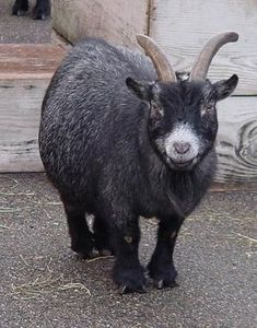 How to Keep Pygmy Goats. Hmmm...wonder what my husband would say if I brought one home.