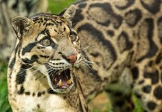 Clouded Leopard Series - Taken at the WHF in Kent.