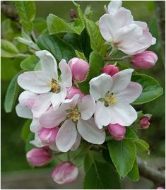 The Apple Blossoms or Pyrus coronaria is the state flower of Michigan. Its scientific name is Pyrus coronaria or Malus coronaria. Apple Blossom Flower, Spring Blossom, Apple Flowers, Apple Blossoms, Blossom Garden, Flowers Nature, Spring Flowers, Amazing Flowers, Beautiful Flowers