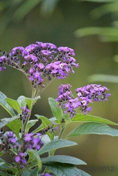 Butterfly Bush | Flickr - Photo Sharing!