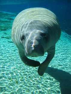 This is my most favorite creature that the Lord made. People should be as gentle, patient, kind and loving as Manatees.