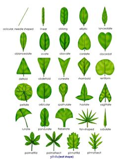 leaf shape for leaf classification - House Plant Identification By Leaf