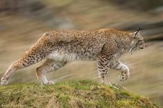 lynx hunting by Wolf Ademeit on 500px