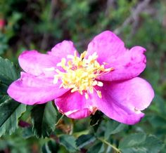 My readers will all likely be very familiar with my fondness for any and all Rosa species, and most especially for my local wild Rosa woodsii. There's no doubt that Rose is a popular plant among he…