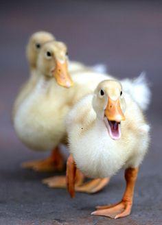Duck | Flickr - Photo Sharing!