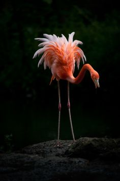Flamingo - title 'In the Spotlight' - by Billy Currie - Black background