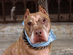 TO BE DESTROYED 8/9/14  Brooklyn Center -P  **NEW PHOTO**   My name is RHINO. My Animal ID # is A1009513.  I am a neutered male tan and white staffordshire mix. The shelter thinks I am about 11 YEARS old.   I came in the shelter as a OWNER SUR on 08/06/2014 from NY 11221, owner surrender reason stated was PET HEALTH.  SENIOR ALERT!!! GREAT BEHAVIOR EXAM ~ TREATABLE DERMATITIS/SKIN
