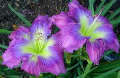 'Move Over' ~ Fabulous purple daylily Very Beautiful Flowers, Unique Flowers, Exotic Flowers, Daylily Garden, Asiatic Lilies, My Secret Garden, Day Lilies, Planting Flowers, Growing Flowers