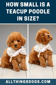 The Teacup Poodle size is one of the smallest you may find, from their paws to the top of their shoulders they are only 6-8 inches tall. These tiny pups can typically fit in the palm of an adult hand. Read on for more details.  #teacuppoodlesize #minipoodle #teacuppoodle Teacup Dog Breeds, Tea Cup Poodle, Mini Poodles, Pup, Tea Cups, Teddy Bear, Toys, Animals, Activity Toys