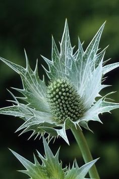 [eryngium giganteum - sea holly - 'Silver Ghost', plants available from Sarah Raven]