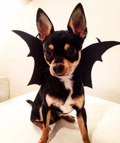 Bat Dog Costume Wings For Pratzky Krysarik Small Costumes
