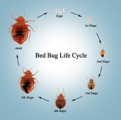 bed bug infestation treatment