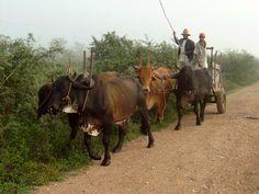 Brazilian ox carriage.