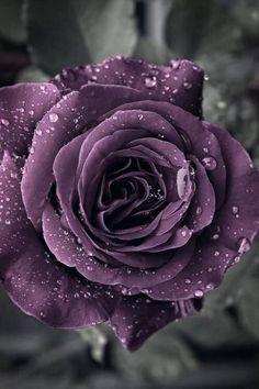 Wonderful Images Lavender roses Style No matter if you're in area or maybe the land, lavender can be required for delivering relaxed bea Beautiful Rose Flowers, Love Rose, Flowers Nature, Exotic Flowers, My Flower, Beautiful Flowers, Purple Aesthetic, Purple Roses, Black Roses