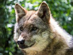 Der Wolf von Max Steinwald