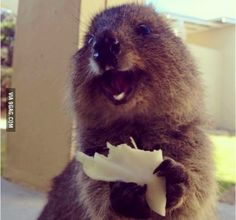 The happiest little Quokka<-favorite animal