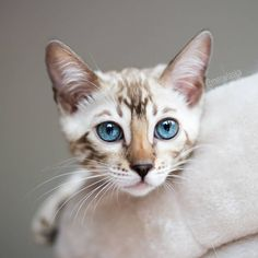 Isn't it a unwritten law that kittens get double treats and snacks? We still have to grow right? 😹 So hand over the treat bag human! Cute Cats And Dogs, Cats And Kittens, Kitty Cats, Crazy Cat Lady, Crazy Cats, Ocicat, Egyptian Mau, Cat Whisperer, F2 Savannah Cat