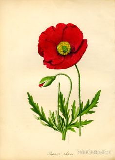 Print Collection Papaver Rhoeas Red Poppy in poppy flower drawing Print Collection Papaver Rhoeas Red Poppy Vintage Botanical Prints, Botanical Drawings, Botanical Art, Botanical Illustration, Art Floral, Watercolor Flowers, Watercolor Paintings, Flanders Poppy, Impressions Botaniques