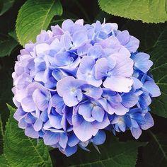 Hydrangea    - Picture Colors:  Green, Blue, Purple