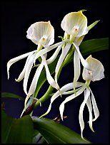 Encyclia cochliata v alba.  Uma orquídea espécies (cor)