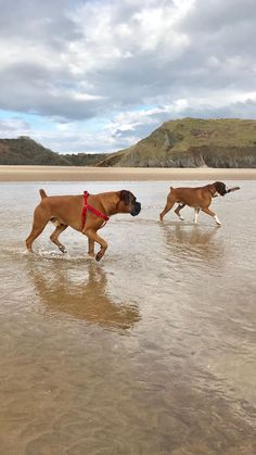 Henry & Ike paddling in the river again on their beach walk after all the crazy weather has gone! Roll on Spring!
