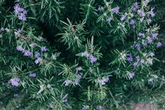 The Complete Guide to Growing Rosemary in Pots - Plants That Repel Spiders, Rosemary Plant, Grow Rosemary, Rosemary Tea, How To Ripen Avocados, Gardening Magazines, Plant Cuttings, Mother Plant, Plant Needs