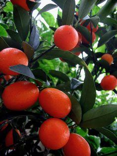cumquat tree, Australia