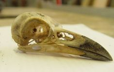 crow raven bird skull 1 by ~InKi-Stock on deviantART